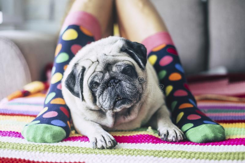 Cute close up of pretty pug between two legs with coloful socks - best friend of the man forever and alwais together - dog looking royalty free stock image
