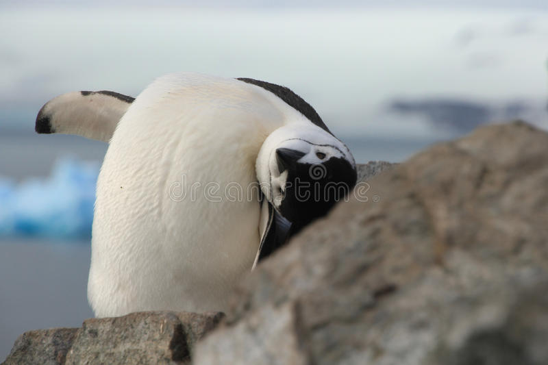 Cute closeup of Chinstrap penguin (Pygoscelis antarctica). Closeup of Chinstrap penguin (Pygoscelis antarctica) in Antarctica, looking upside down stock photography