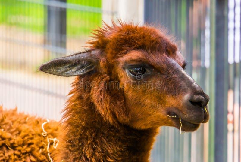Cute closeup of the face of a brown alpaca, popular pet on the animal farm, tropical animal specie from America. A cute closeup of the face of a brown alpaca royalty free stock photo