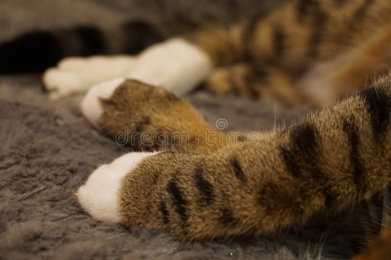 Cute closeup of sleeping tabby cat`s paws on a grey furry bed. Macro detail of the cat`s fur, with shallow depth of field blurring out the background. Calm royalty free stock photos