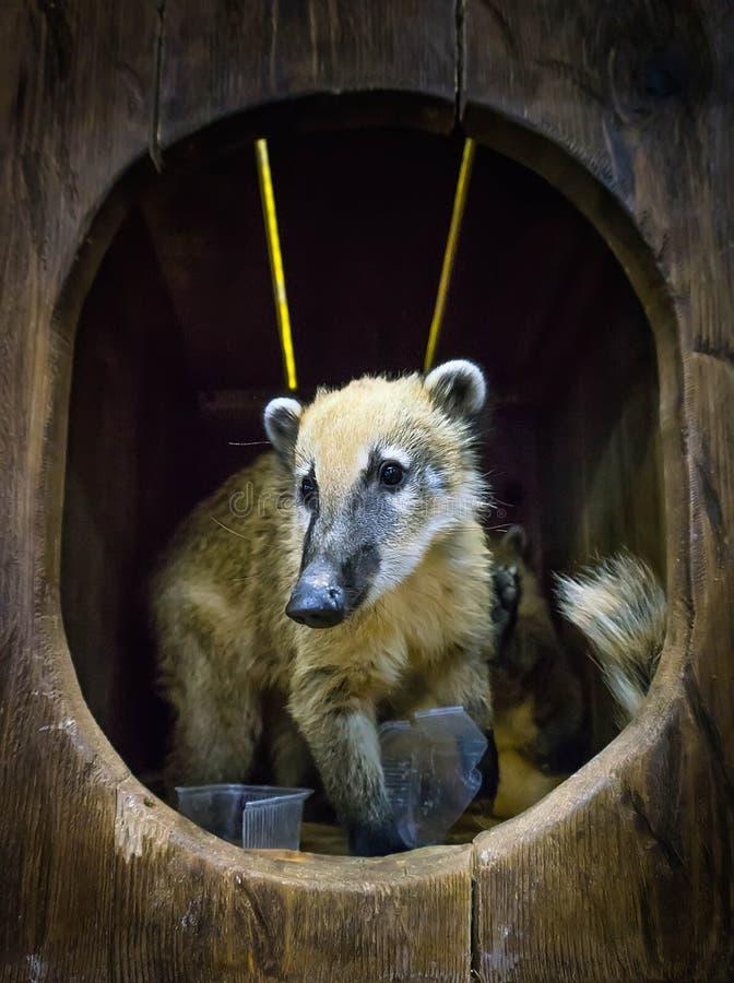 Cute coati, wild animal looking like raccoon, couple of cute animals stock photo