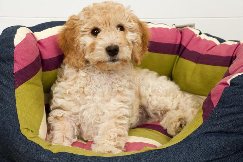 A cute Cockapoo puppy in her new bed. A cute 12 week old Cockapoo puppy bitch on a white background lies in her new bed lookingat the camera stock photo