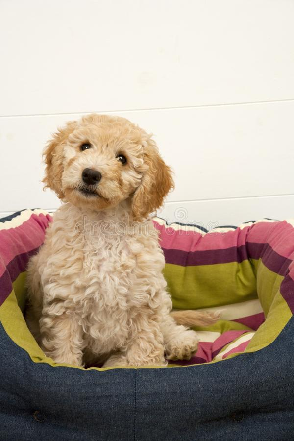 A cute Cockapoo puppy in her new bed. A cute 12 week old Cockapoo puppy bitch on a white background sits in her new bed looking at the camera stock photo
