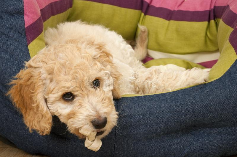 A cute Cockapoo puppy in her new bed. A cute 12 week old Cockapoo puppy bitch lies tired on her new bed with a chew in her mouth stock photos