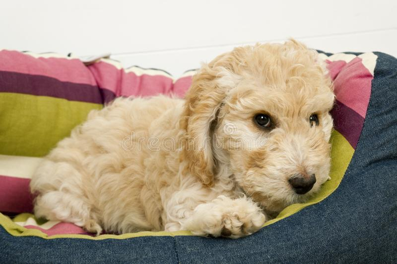 A cute Cockapoo puppy in her new bed. A cute 12 week old Cockapoo puppy bitch on a white background lies in her new bed looking at the camera stock photos