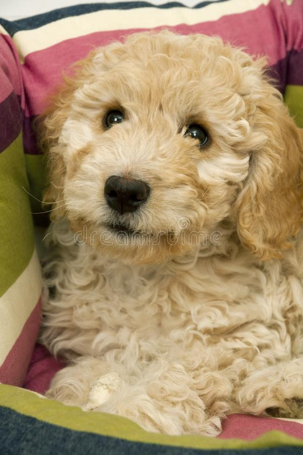 A cute Cockapoo puppy in her new bed. A cute 12 week old Cockapoo puppy bitch on a white background lies in her new bed looking at the camera royalty free stock photo