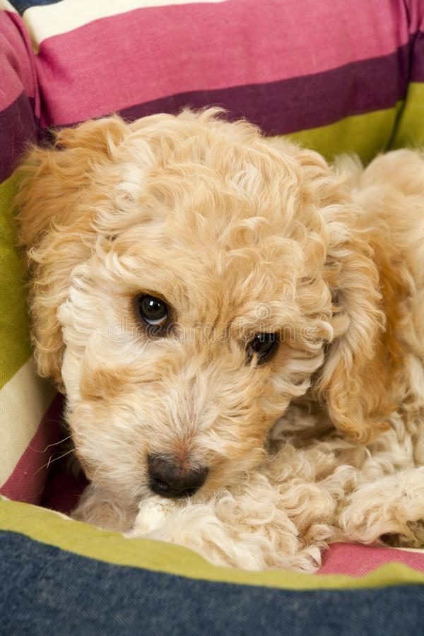A cute Cockapoo puppy in her new bed. A cute 12 week old Cockapoo puppy bitch on a white background lies in her new bed looking at the camera royalty free stock image