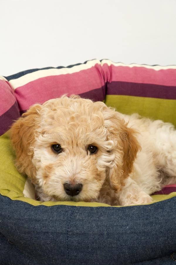 A cute Cockapoo puppy in her new bed. A cute 12 week old Cockapoo puppy bitch on a white background lies in her new bed lookingat the camera stock photos