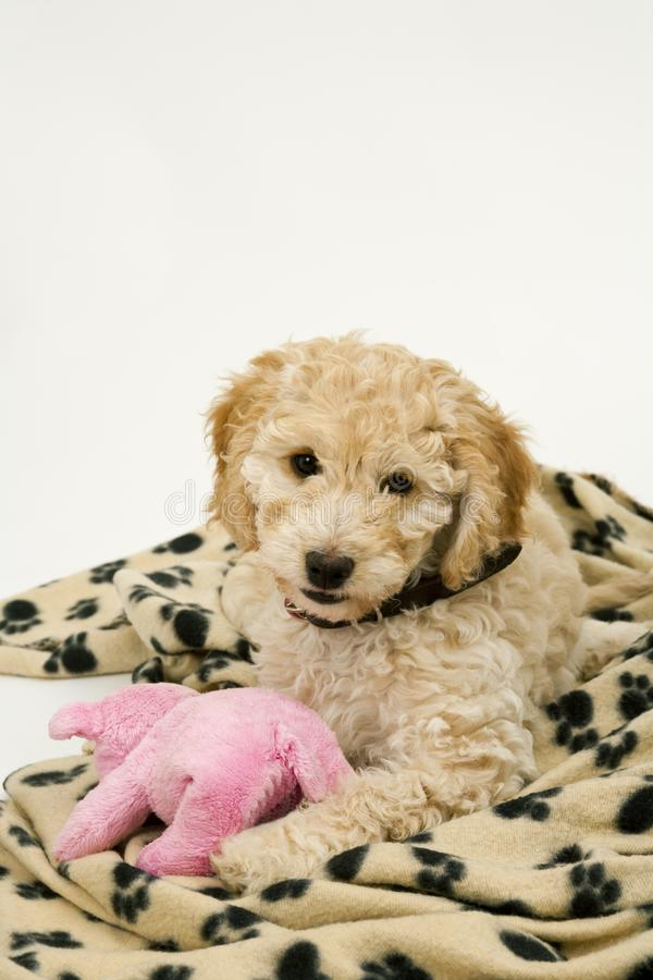 A cute Cockapoo puppy on a white background. A cute 12 week old Cockapoo puppy bitch on a white background lies on her blanket with a toy stock photos