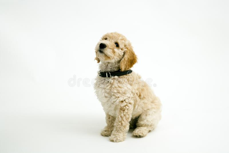 A cute Cockapoo puppy on a white background. A cute 12 week old Cockapoo puppy bitch on a white background sits obediently looking upwards stock images