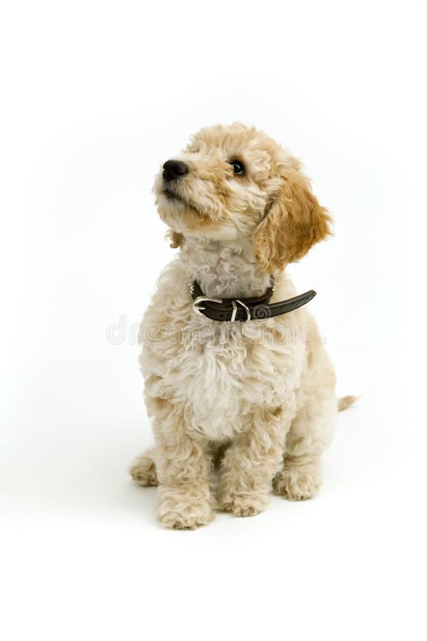 A cute Cockapoo puppy on a white background. A cute 12 week old Cockapoo puppy bitch on a white background sits obediently looking upwards stock photos