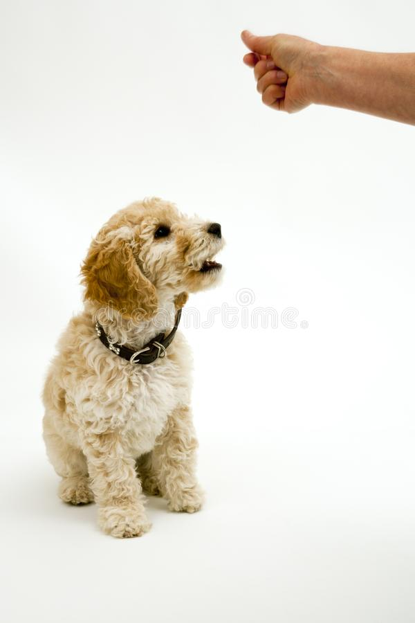 A cute Cockapoo puppy on a white background. A cute 12 week old Cockapoo puppy bitch on a white background sits obediently for a treat stock photos