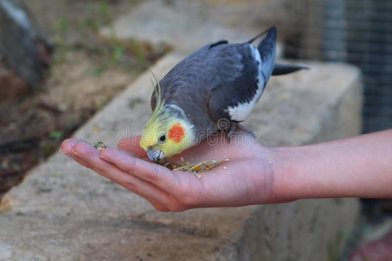 Cute cockatiel parrot Nymphicus hollandicus eating from a girl`s hand royalty free stock image