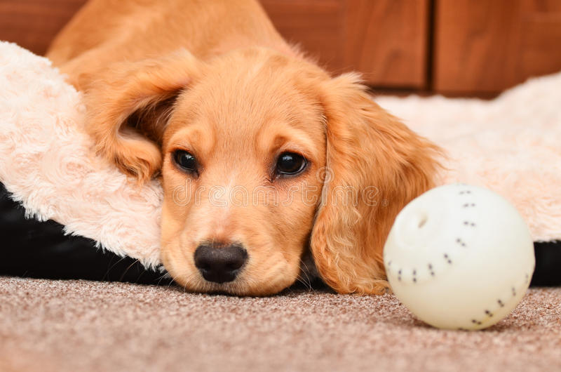 Cute Cocker spaniel pup. Resting after playing with her ball royalty free stock images