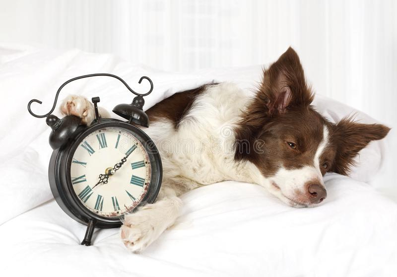 Cute Collie border breed dog sleeping in bed stock photos