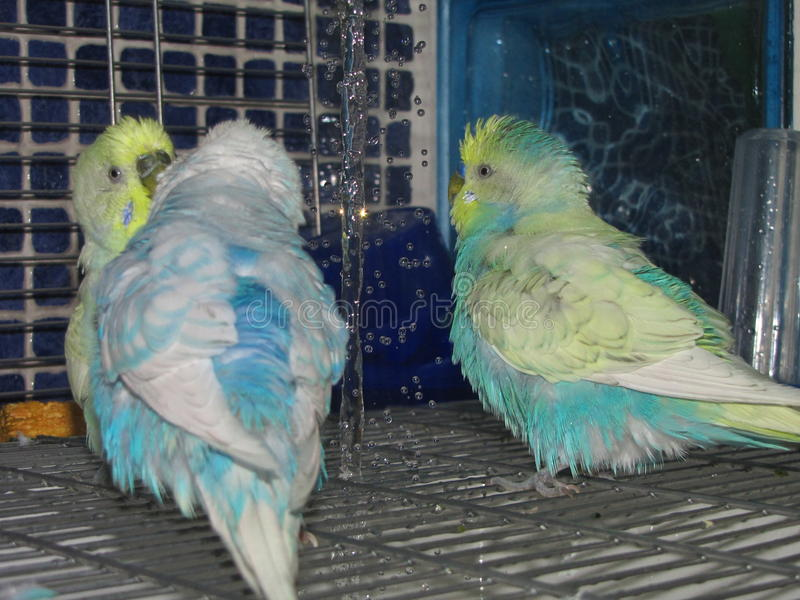 Cute colorful budgies having a nice shower stock images