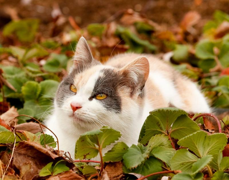 Cute colorful cat laying on green strawberry leaves on the ground. Cat with yellow eyes. Cat looking up royalty free stock photo