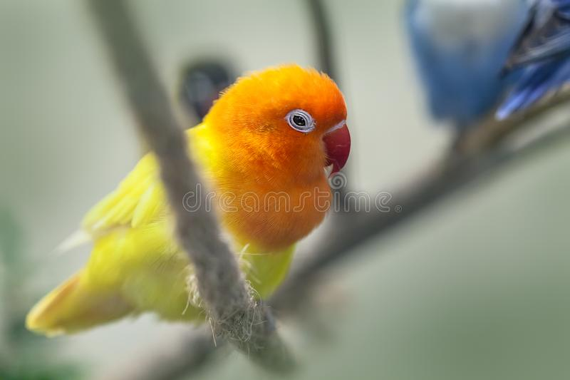 Cute colorful Sun Conure parrot birds. On the branch royalty free stock image