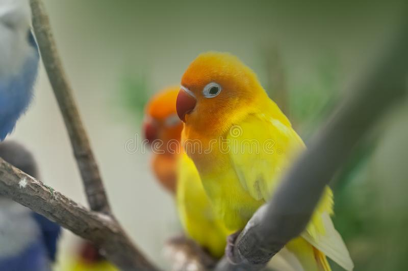 Cute colorful Sun Conure parrot birds. On the branch stock photography