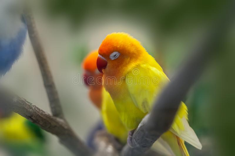 Cute colorful Sun Conure parrot birds. On the branch stock images