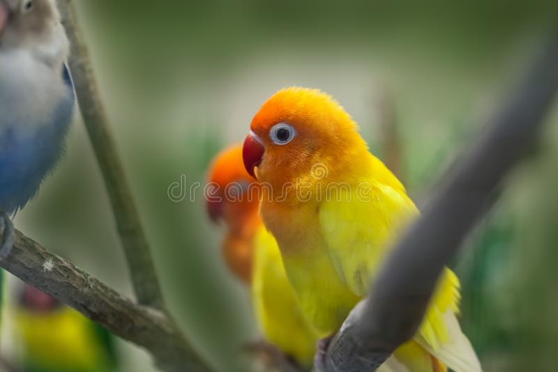 Cute colorful Sun Conure parrot birds. On the branch royalty free stock photos