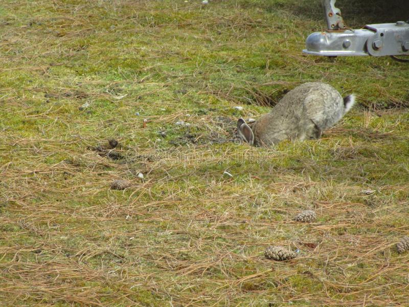 Cute comical light grey fair young bunny rabbit digging a hole in the field 2019 stock images