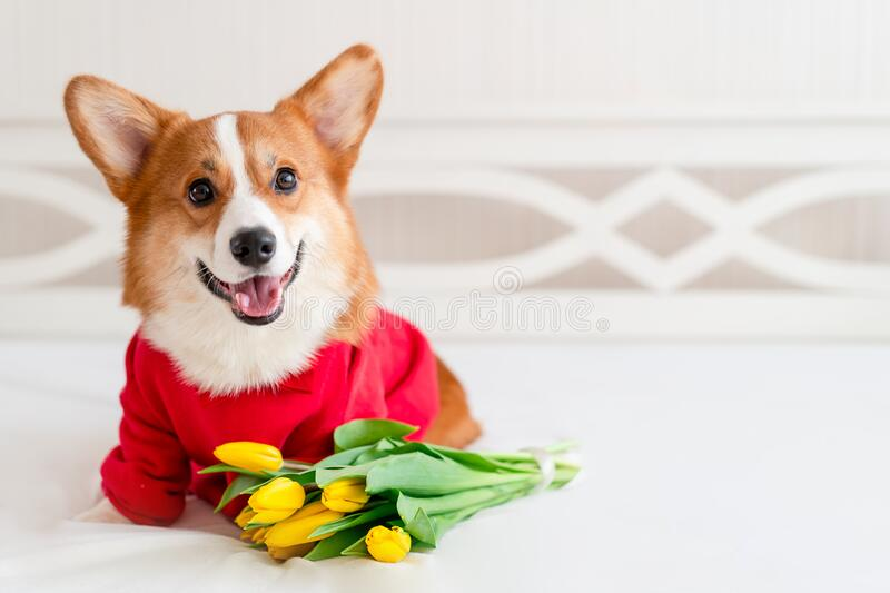 Cute corgi dog in stylish red bomber jacket sit near tulip flowers. Concept pet fashion, mothers day, valentines day. The 8th of march. Indoor stock photos