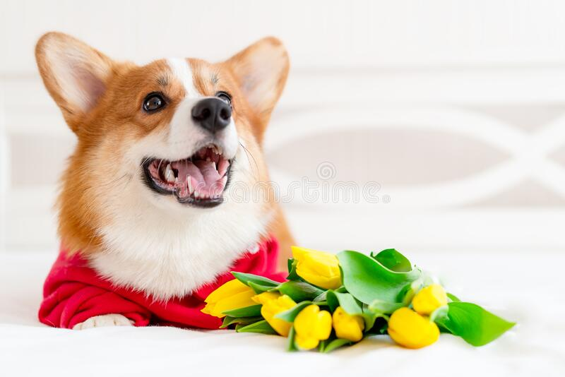 Cute corgi dog in stylish red bomber jacket sit near tulip flowers. Concept pet fashion, mothers day, valentines day. The 8th of march. Indoor royalty free stock images