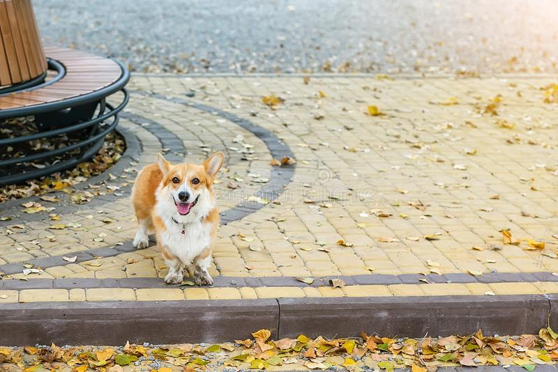 Cute corgi pembroke puppy alone in autumn city park. Abandoned or lost dog standing at street during cold fall day stock photo