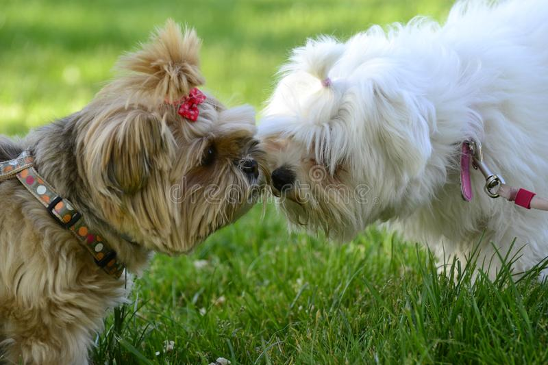 Cute couple of small furry dogs in love. Two small dogs, a Yorkshire Terrier and a Maltese Bichon, kissing after love at first sight in the park stock photography