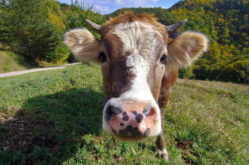 Farm. Cow portrait with forest in the background stock images