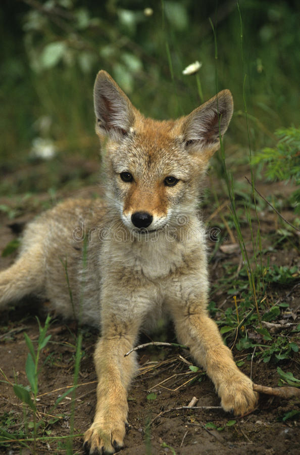 Download Cute Coyote Pup stock image. Image of wild, nurture, outdoors - 9532729