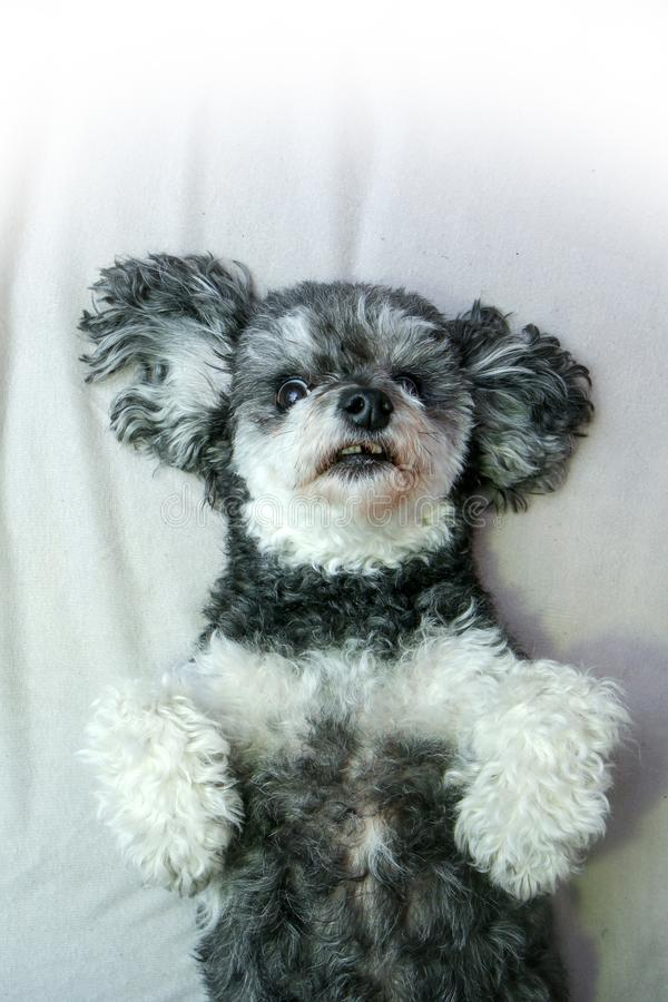 Cute crossbreed dog, shi tzu and poodle, in detail. A cute crossbreed dog, shi tzu and poodle, in detail. Lying on its back and showing teeth. The one of them is stock photography