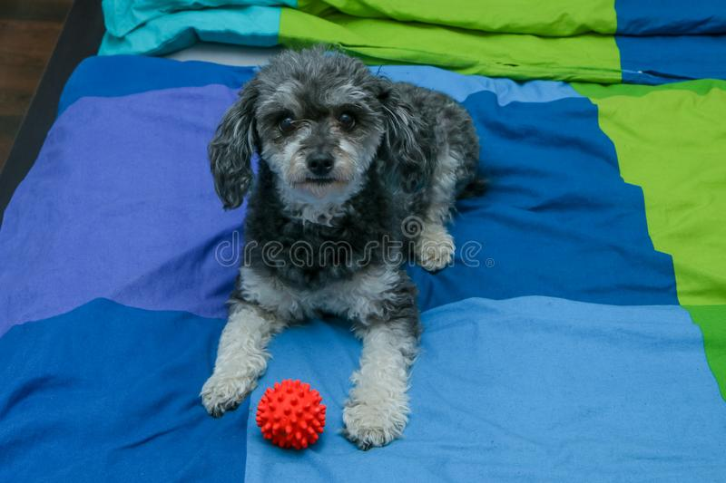 Cute crossbreed of poodle and shi tzu lying on the owners bed. A cute crossbreed of poodle and shi tzu lying on the owners bed with a toy ball. Looking happy and stock photos