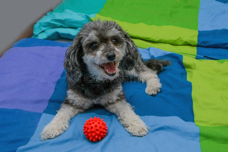 Cute crossbreed of poodle and shi tzu lying on the owners bed. A cute crossbreed of poodle and shi tzu lying on the owners bed with a toy ball. Looking happy and royalty free stock photography
