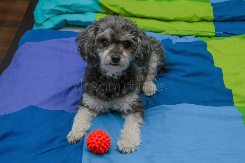Cute crossbreed of poodle and shi tzu lying on the owners bed. A cute crossbreed of poodle and shi tzu lying on the owners bed with a toy ball. Looking happy and royalty free stock image