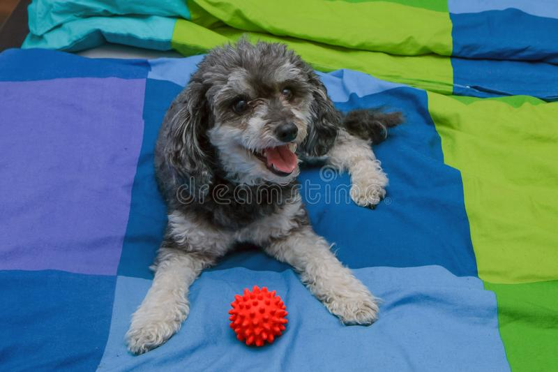Cute crossbreed of poodle and shi tzu lying on the owners bed. A cute crossbreed of poodle and shi tzu lying on the owners bed with a toy ball. Looking happy and royalty free stock photos