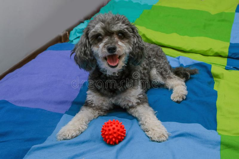 Cute crossbreed of poodle and shi tzu lying on the owners bed. A cute crossbreed of poodle and shi tzu lying on the owners bed with a toy ball. Looking happy and stock image