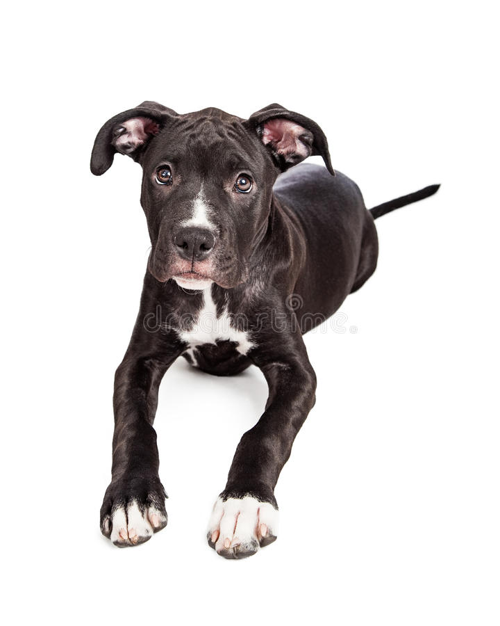 Cute Crossbreed Puppy Laying Looking at Camera stock image