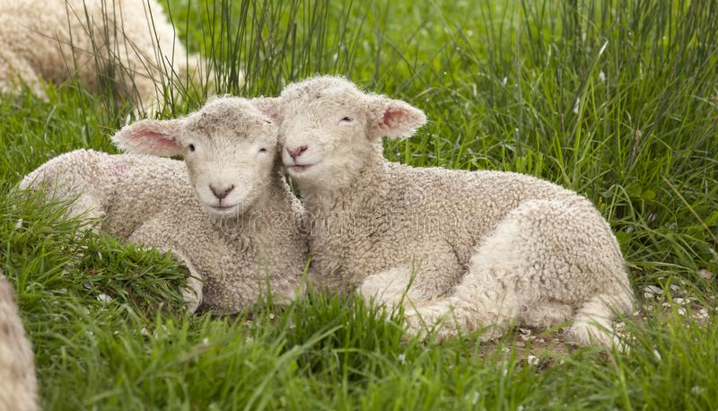 Cute cuddly fuzzy baby animals Spring lambs sheep siblings snuggling up together in green grass. They look like they are smiling. stock photos