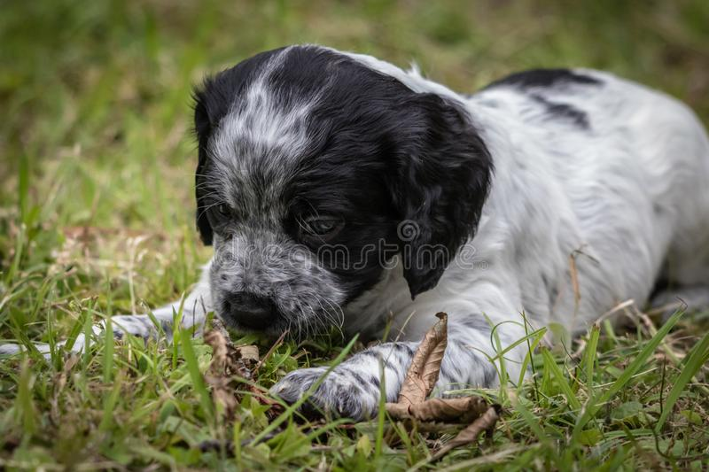 Cute and curious black and white baby brittany spaniel dog puppy portrait, playing and biting piece of wood. Cute and curious black and white baby brittany stock image