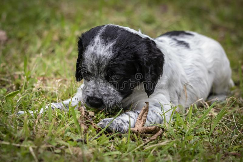 Cute and curious black and white baby brittany spaniel dog puppy portrait, playing and biting piece of wood. Cute and curious black and white baby brittany stock photo