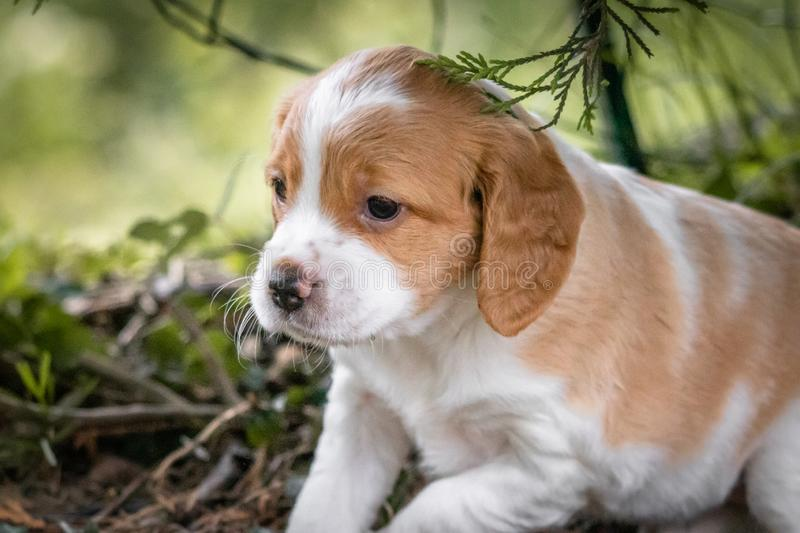 Cute and curious brown and white brittany spaniel baby dog, puppy portrait isolated exploring. Cute and curious brown and white brittany spaniel baby dog, puppy stock photos