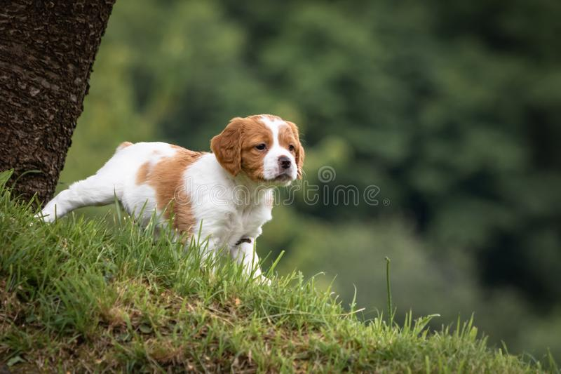 Cute and curious brown and white brittany spaniel baby dog, puppy portrait isolated exploring in green meadow with blurred backgro. Cute and curious brown and royalty free stock image