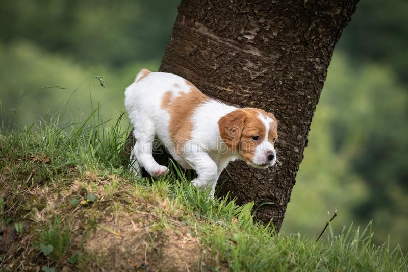 Cute and curious brown and white brittany spaniel baby dog, puppy portrait isolated exploring in green meadow with blurred backgro. Cute and curious brown and stock photos