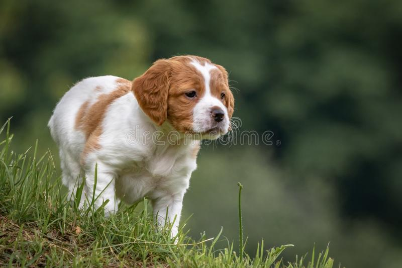 Cute and curious brown and white brittany spaniel baby dog, puppy portrait isolated exploring in green meadow with blurred backgro. Cute and curious brown and stock photo