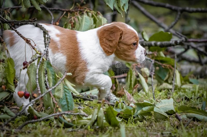 Cute and curious brown and white brittany spaniel baby dog, puppy portrait isolated playing. In grass stock photography
