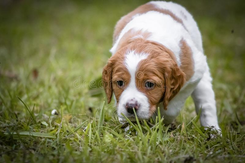 Cute and curious brown and white brittany spaniel baby dog, puppy portrait isolated playing. In grass, hunting position stock image