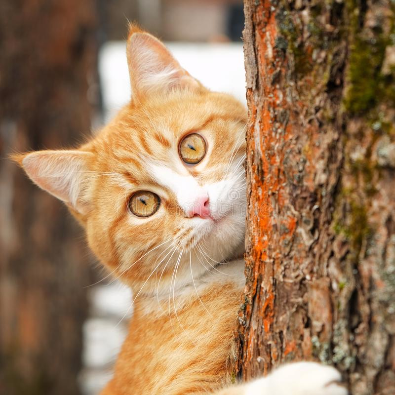 Cute curious ginger tabby cat with yellow eyes hanging on trunk of tree. Square royalty free stock photos