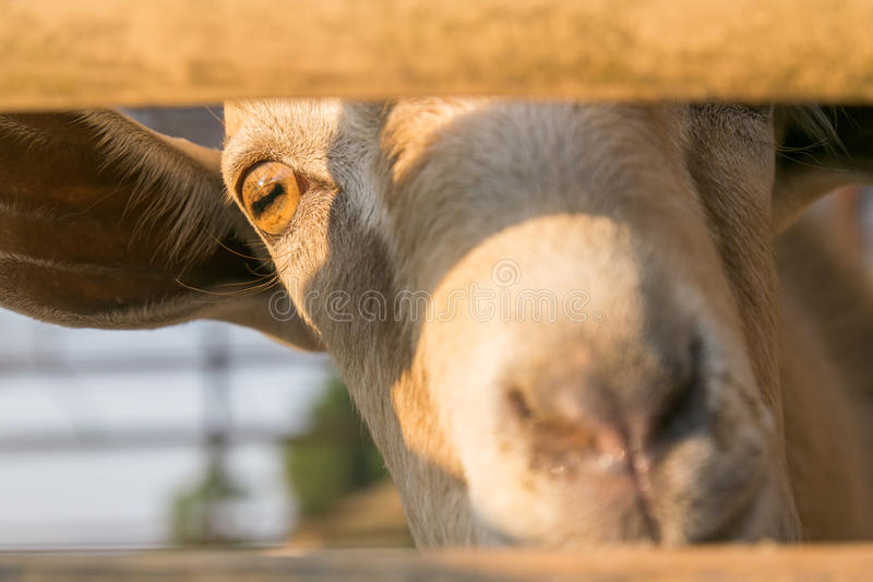 Cute curious goat royalty free stock photo